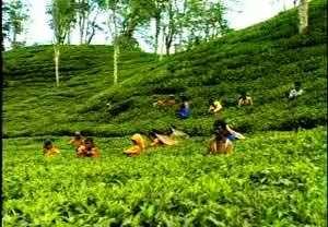 Plucking_tea_from_garden_beautifulbangladesh