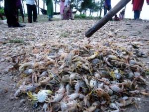 crab processing