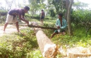 kaliti tea garden tree cutting