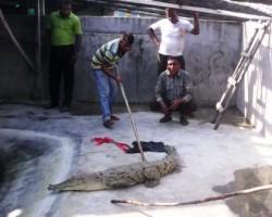 crocodile released in sundarbans