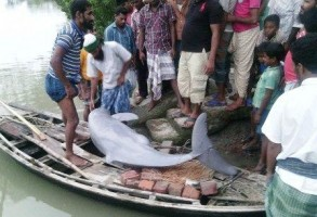 dophin captured from Kalapara river