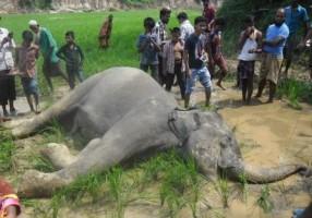 wild elephant dies as BSF fires
