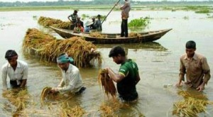 barisal paddy field drowned