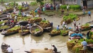 kawkhali floating rice sapling selling