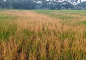 raipur rice field burnt over land dispute