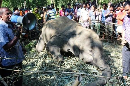 sherpur-dead-elephant-post-mortem