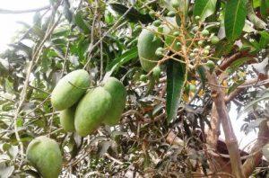 Mango Nachole